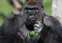 Gorilla eating greens